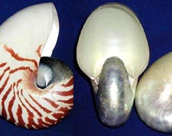 "GIANT CHAMBERED NAUTILUS~Nautilus pompileus Seashells - Natural or Pearlized 6-1/2""-7-1/2""~Makes a Beautful Show Piece Display~Free Shipping"