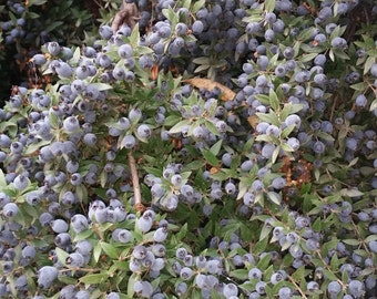 Sweet Myrtle Berries Chemical Free and Cultivated