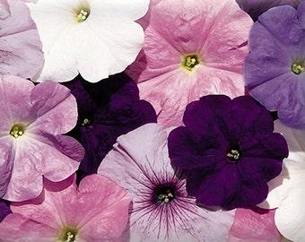 Celebrity Mix Petunia – the petunia garden