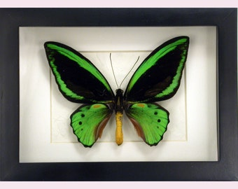 Highly unusual Ornithoptera Priamus admiralitis -Real Framed Butterfly