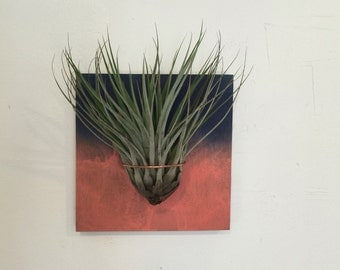 """Large airplant """"Fasciculata"""" mounted on custom painted wood."""