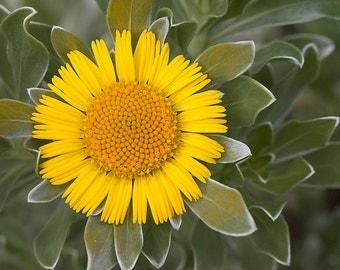 Flower photo Yellow Daisy nature garden photography 8 x10 6 x 8 wall decor