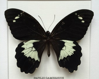 Papilio gambrisius Butterfly Frame