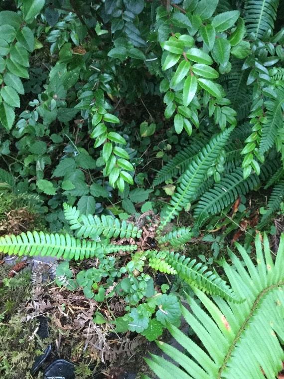 small terrarium size deer ferns live plant. Black Bedroom Furniture Sets. Home Design Ideas