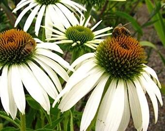 Buy 3 Get 1 Free-Echinacea purpurea White Swan Coneflower Perennial Flower Plant 15 Seeds