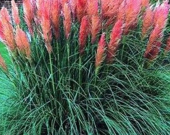 Pink pampas grass etsy for Fast growing ornamental grass