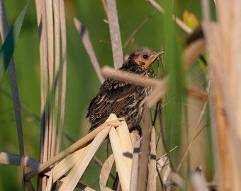 Chick in the Reeds