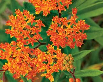 Butterfly Weed (select 100=>6400 seeds) orange milkweed milk butterflies #213