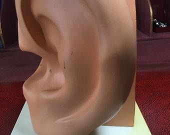 Medical anatomical model - model of the ear