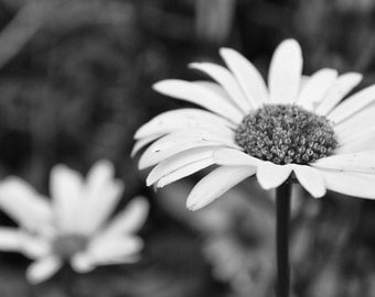 Black and White Daisy Flower Photography, Nature Photography, Wall Art, Home Decor, Flower Photography Print