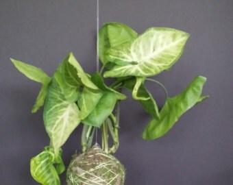 Arrowhead Kekodama moss ball bonsai