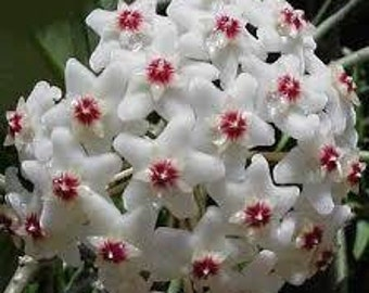 Tropical Hoya House Plant *blooms white* Rooted cuttings