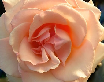 "A Stunningly beautiful ""PINK CLOUD"" ROSE. Fine Art Photo. Blank Card, Suitable for Framing, and is Copyright Protected."