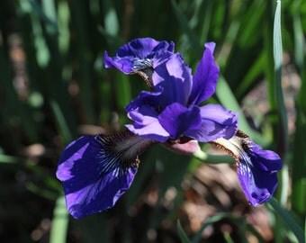 Suzi's Iris