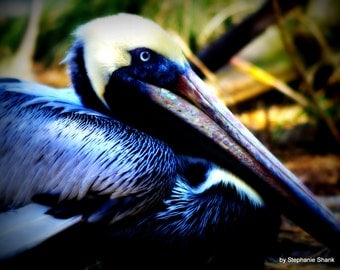 Animal - Blue Pelican Bird