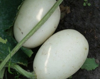 Egg gourd seeds