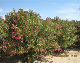 250 oleander seeds -BUY2 get 1FREE-fresh 2015- mixed colors-