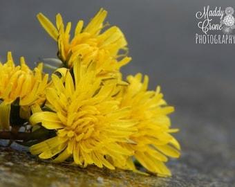 Yellow Flower Photograph, Dandelion Photograph,  4 x 6