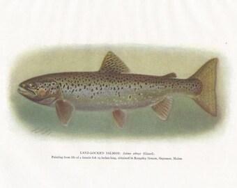 Original Antique Land-Locked Salmon Fish Print by Charles B. Hudson 1917