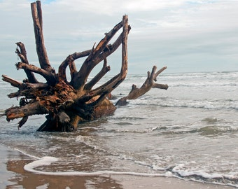 Tree washed up on Padre Island     Free Shipping       Giclee print