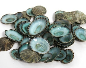 50 Blue Green Limpets