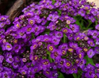 60+ Violet Queen Fragrant Alyssum / Re-Seeding Flower Seeds