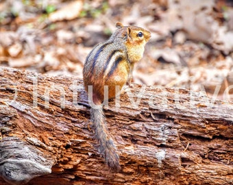 Chipmunk with its cheeks full! Ready to hang gallery-wrapped canvas print!