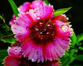 Poster Vibrant Pink Flower Photography Print, Home Decor, Flower, Pink Flower, Flower after Rain, Flower Photography, Wet, Nature, Plant