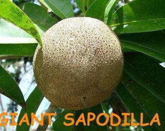 20 GIANT SAPODILLA seeds Best Quality *RARE* *exotic* *organic* Manilkara zapota