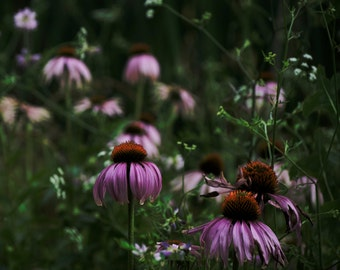 Coneflowers at the pond.