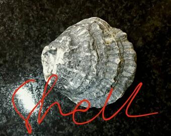 Large shell from Ireland,beach crafts supplies,dark seashell, home decor