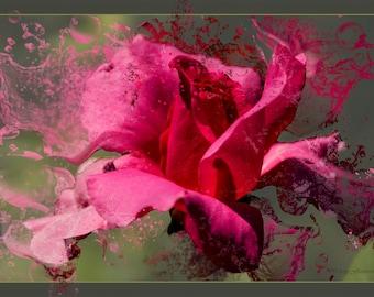 Effervescent Rose