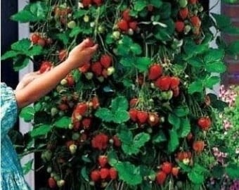 Trailing Strawberry 10 Seeds - Runners up to 1 m , delicious crop!