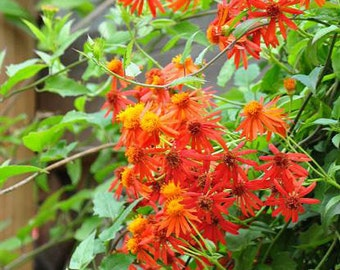 Mexican Flame Vine 5 Seeds, Orange Glow Vine (Pseudogynoxys chenopodioides)