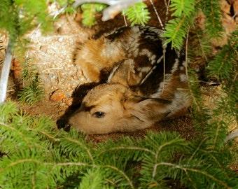 Deer Fawn in Hiding