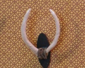 Miniature African antelope horns wall mounted trophy