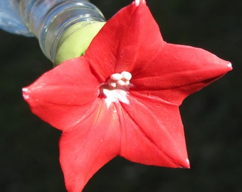 HUMMINGBIRD FEEDER --Red Cypress Vine on a Crown Motif bottle