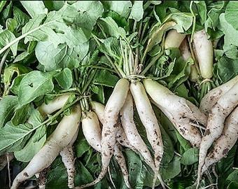 Organic White Icicle Radish Heirloom Vegetable Seeds