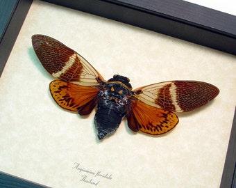 Real Angamiana Floridula Rusty Framed Cicada 2127