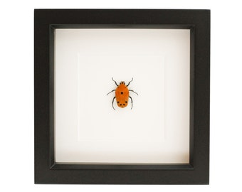 Framed Flower Beetle Taxidermy Display