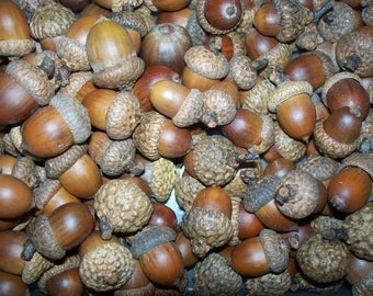100 Acorns For Crafting  (Free US Shipping)