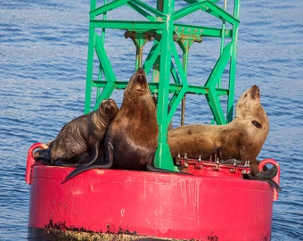Sea Lions on Buoy, Juneau, Alaska - 11x14 Alaskan Wildlife Photo Print