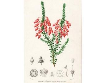 1861 FLOWER BOTANICA ENGRAVING Erica ardens flower original antique botanical plant print