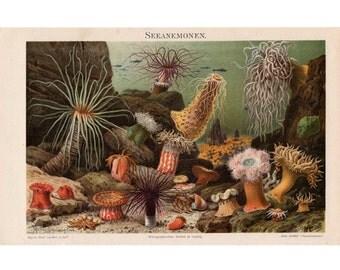 1894 ANTIQUE ANEMONES LITHOGRAPH original antique ocean sea life marine animal print