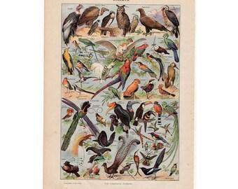 1900 ANTIQUE BIRD LITHOGRAPH original antique ornithology color birds print