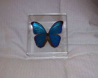 Real Beautiful Iridescent  Metallic Blue Morpho Butterfly