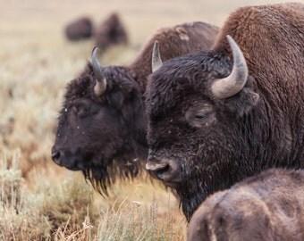 Buffalo in Hayden Valley - Yellowstone National Park photograph