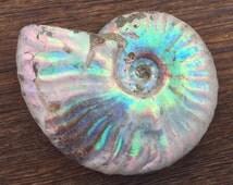 "Medium (2""+) Rainbow Ammonite / Whole Opalized Iridescent Fossil"