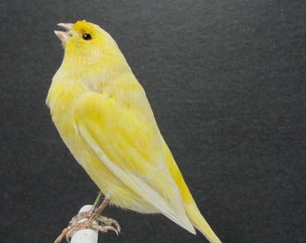 Singing Yellow Canary Real Bird Taxidermy Mount