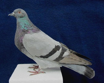 Gray Rock Dove Pigeon Real Bird Taxidermy mount
